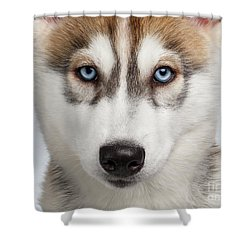 Closeup Siberian Husky Puppy With Blue Eyes On White  Shower Curtain by Sergey Taran