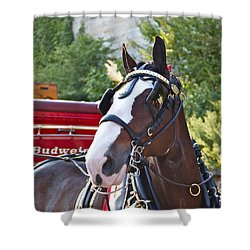 Clydesdale At Esp Shower Curtain by Alice Gipson