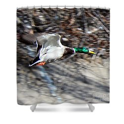 Colorado Mallard In Flight Shower Curtain