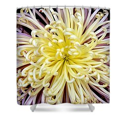 Colorful Spider Chrysanthemum   Shower Curtain