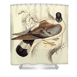 Columba Leuconota, Snow Pigeon Shower Curtain by Elizabeth Gould