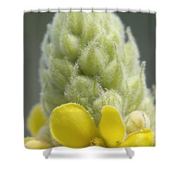 Common Mullein - New England Shower Curtain by Erin Paul Donovan