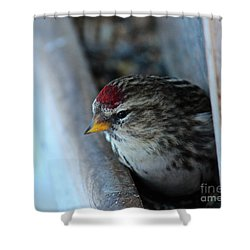 Shower Curtain featuring the photograph Common Redpoll by Ann E Robson