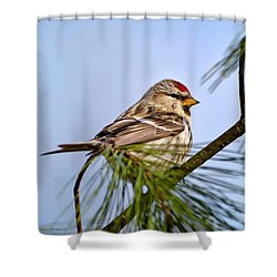 Shower Curtain featuring the photograph Common Redpoll Bird by Christina Rollo