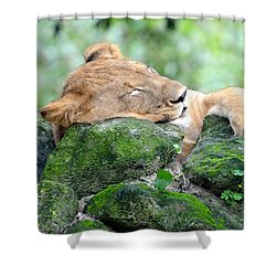 Contented Sleeping Lion Shower Curtain by Richard Bryce and Family