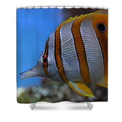 Copperband Butterflyfish Chelmon Rostratus Shower Curtain