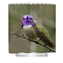 Costa's Hummingbird, Solano County California Shower Curtain by Doug Herr