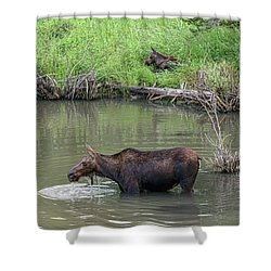 Shower Curtain featuring the photograph Cow Moose And Calf by James BO Insogna