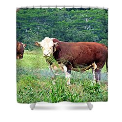 Cow Today Shower Curtain