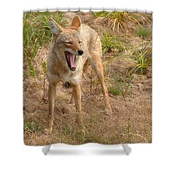 Coyote Caught In A Yawn Shower Curtain