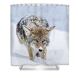 Coyote Coming Through Shower Curtain