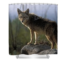 Coyote In Ocotillo Trees Shower Curtain by Sandra Bronstein