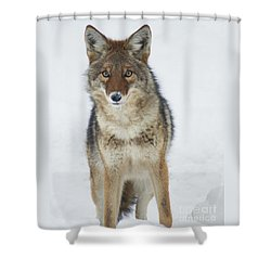 Coyote Looking At Me Shower Curtain