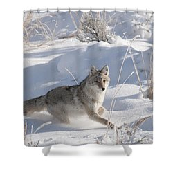 Coyote On The Move Shower Curtain