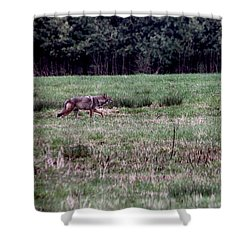 Coyote On The Prowl Shower Curtain by Bruce Patrick Smith