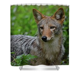 Coyote On The Prowl  Shower Curtain
