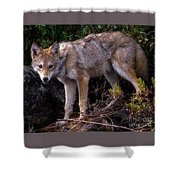 Coyote Portrait Shower Curtain