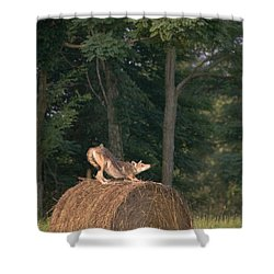 Shower Curtain featuring the photograph Coyote Stretching On Hay Bale by Michael Dougherty