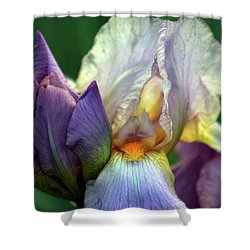 Cream And Purple Bearded Iris With Bud 0065 H_2 Shower Curtain
