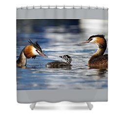 Crested Grebe, Podiceps Cristatus, Ducks Family Shower Curtain