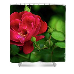 Shower Curtain featuring the photograph Crimson Red Rose By Kaye Menner by Kaye Menner
