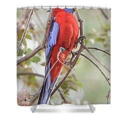 Crimson Rosella 01 Shower Curtain
