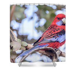 Crimson Rosella 03 Shower Curtain