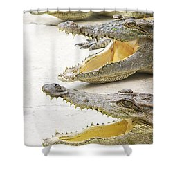 Crocodile Choir Shower Curtain by Jorgo Photography - Wall Art Gallery