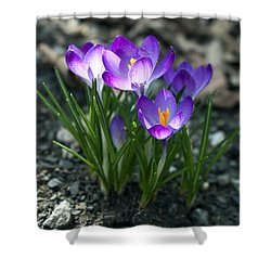 Crocus In Bloom #2 Shower Curtain