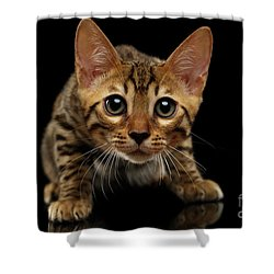 Crouching Bengal Kitty On Black  Shower Curtain by Sergey Taran
