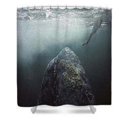 Shower Curtain featuring the photograph Curious Gray Whale And Tourist by Tui De Roy
