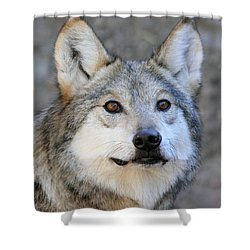 Curious Wolf Shower Curtain by Elaine Malott