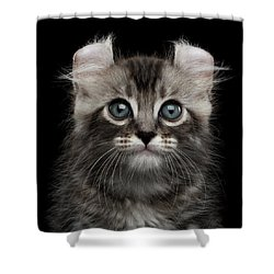 Cute American Curl Kitten With Twisted Ears Isolated Black Background Shower Curtain