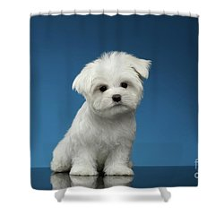 Cute Pure White Maltese Puppy Standing And Curiously Looking In Camera Isolated On Blue Background Shower Curtain by Sergey Taran