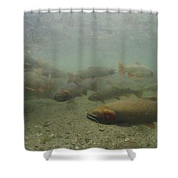 Cutthroat Trout Swim Shower Curtain by Michael S. Quinton