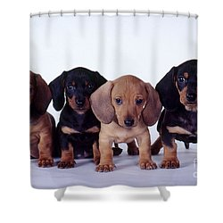 Dachshund Puppies  Shower Curtain