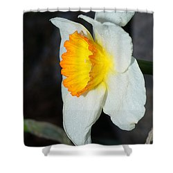 Shower Curtain featuring the photograph Daffodil Season       1 by Margie Avellino