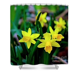Daffodils A Symbol Of Spring Shower Curtain
