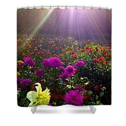Dahlias Kissed By Sun-rays  Shower Curtain