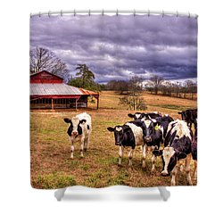 Dairy Heifer Groupies The Red Barn Art Shower Curtain by Reid Callaway