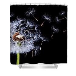 Dandelion Blowing On Black Background Shower Curtain by Bess Hamiti