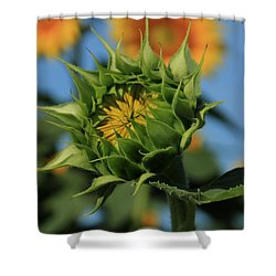 Shower Curtain featuring the photograph Developing Petals On A Sunflower by Chris Berry