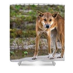 Dingo On 75 Mile Beach, Shower Curtain