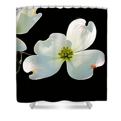 Dogwood Blossoms Shower Curtain by Kristin Elmquist