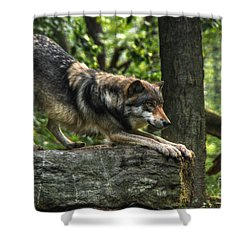 Downward Facing Wolf Shower Curtain by William Fields