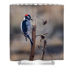 Downy Woodpecker Finding Insects From Sunflower Stem. Shower Curtain by John Brink
