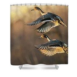Shower Curtain featuring the photograph Drake And Hen Pintail  by Kelly Marquardt