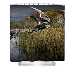 Drake Mallard Ducks Coming In For A Landing Shower Curtain
