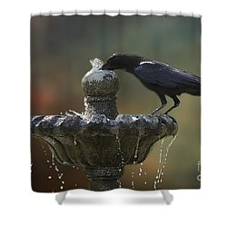 Shower Curtain featuring the photograph Drinking Crow by Clare VanderVeen