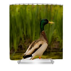 Duck Shower Curtain by Jay Stockhaus